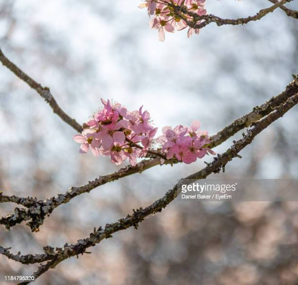 close-up of cherry blossoms in spring - tetbury stock pictures, royalty-free photos & images