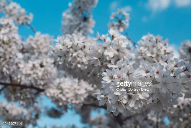 close-up of cherry blossoms in spring - bortes stock pictures, royalty-free photos & images