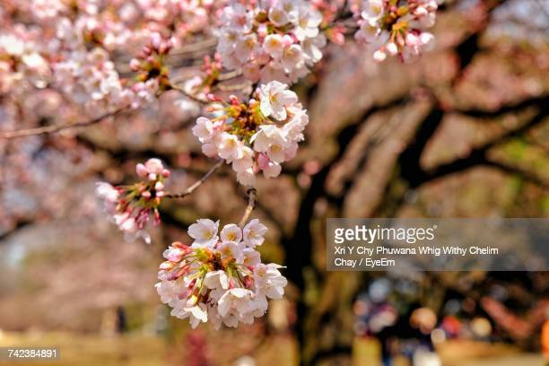 close-up of cherry blossoms in spring - almond orchard stock photos and pictures