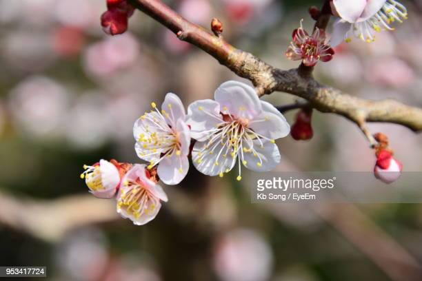 close-up of cherry blossoms on branch - jeju island stock pictures, royalty-free photos & images
