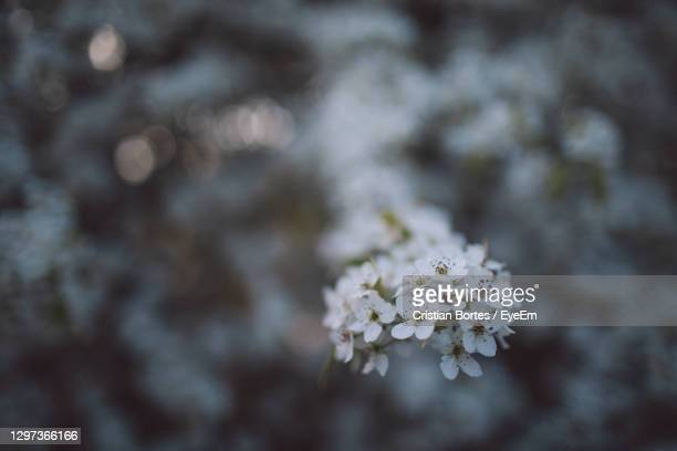 close-up of cherry blossoms on tree - bortes stock pictures, royalty-free photos & images