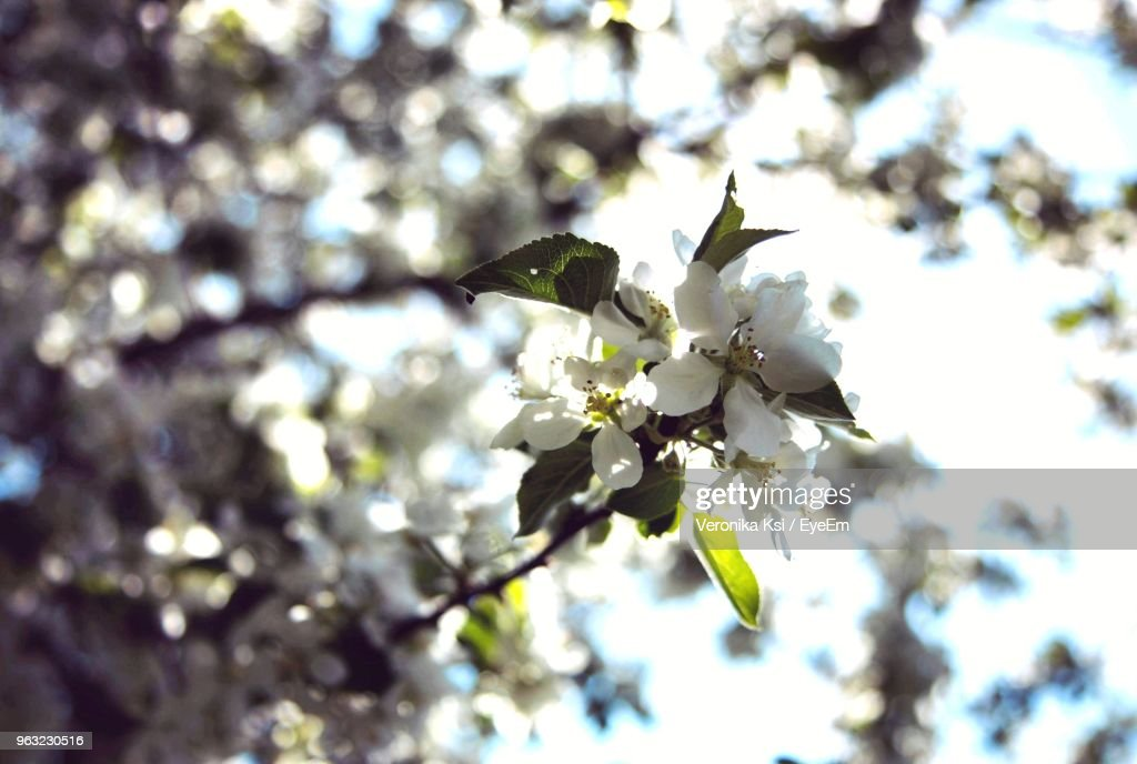 Close-Up Of Cherry Blossoms On Tree : Stock Photo