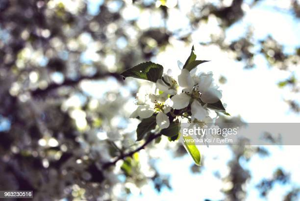 close-up of cherry blossoms on tree - ksi stock photos and pictures