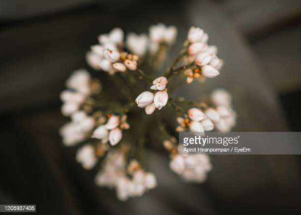 close-up of cherry blossoms - apisit hiranpornpan stock pictures, royalty-free photos & images