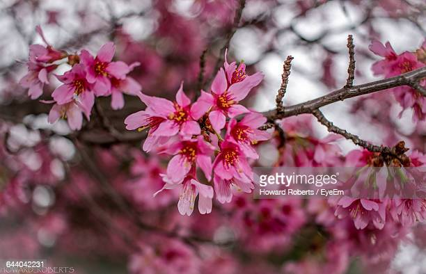 close-up of cherry blossoms - howard,_wisconsin stock pictures, royalty-free photos & images