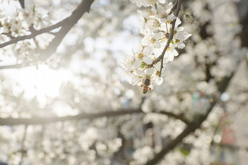 Close-Up Of Cherry Blossoms - gettyimageskorea
