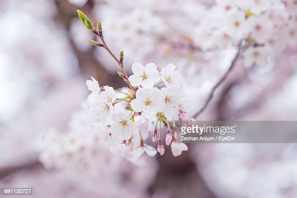 Close-Up Of Cherry Flowers Blooming On Tree