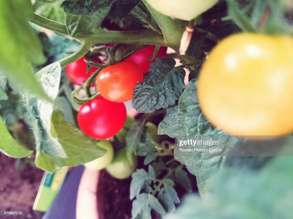 Close-Up Of Cherry Tomatoes Growing On Plant : Stock-Foto