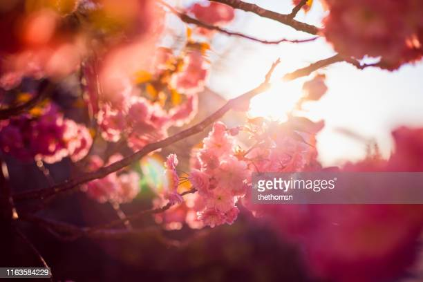 close-up of cherry tree in full blossom , germany - jardin fleuri photos et images de collection
