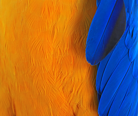 Close-up of chest and wing feathers of a yellow and blue macaw - gettyimageskorea