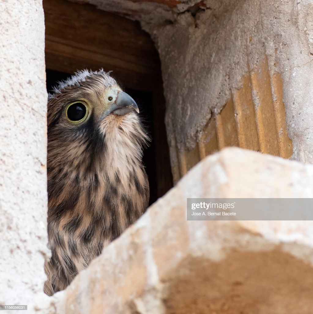 Close-up of chick kestrel  (Falco tinnunculus) in the nest in the hole of a wall in the field. : Stock Photo