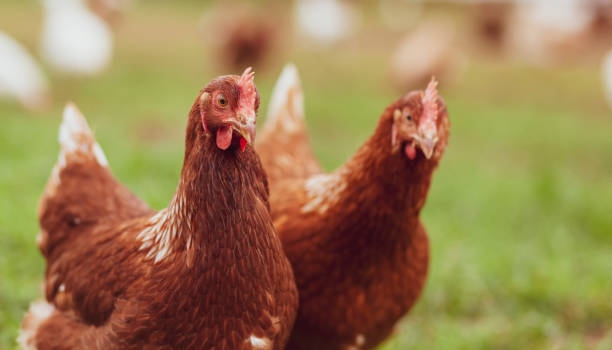 Close-up of chickens on field, Solingen, Germany