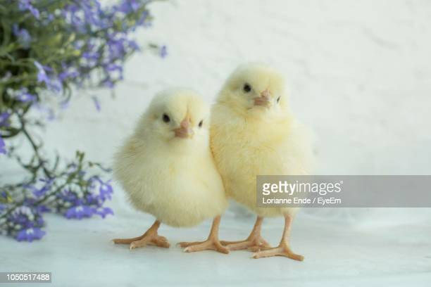 close-up of chicks on table - baby chicken stock photos and pictures