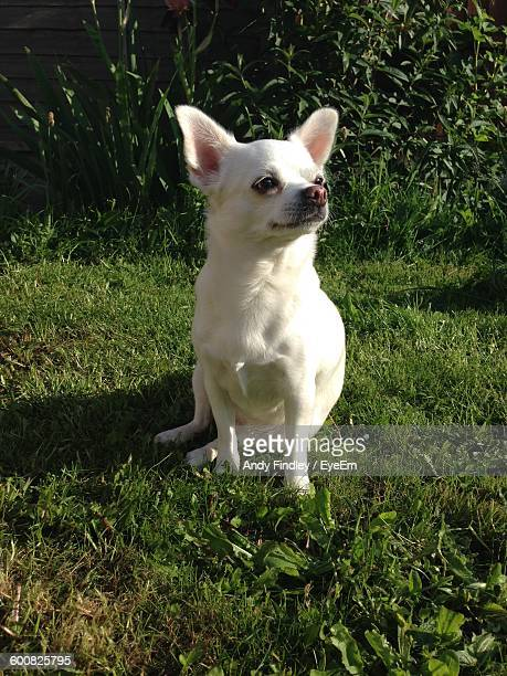 close-up of chihuahua dog on grassy field - north lincolnshire stock pictures, royalty-free photos & images