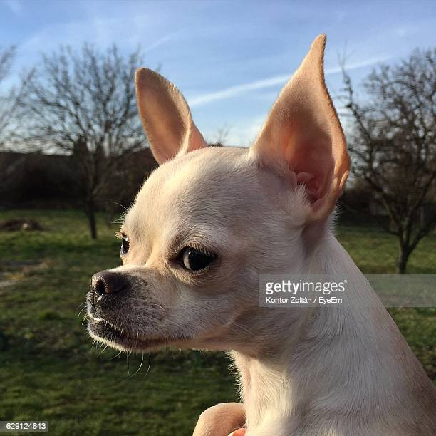close-up of chihuahua puppy - kontor stock pictures, royalty-free photos & images