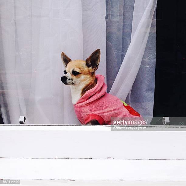 Close-Up Of Chihuahua Sitting On Window