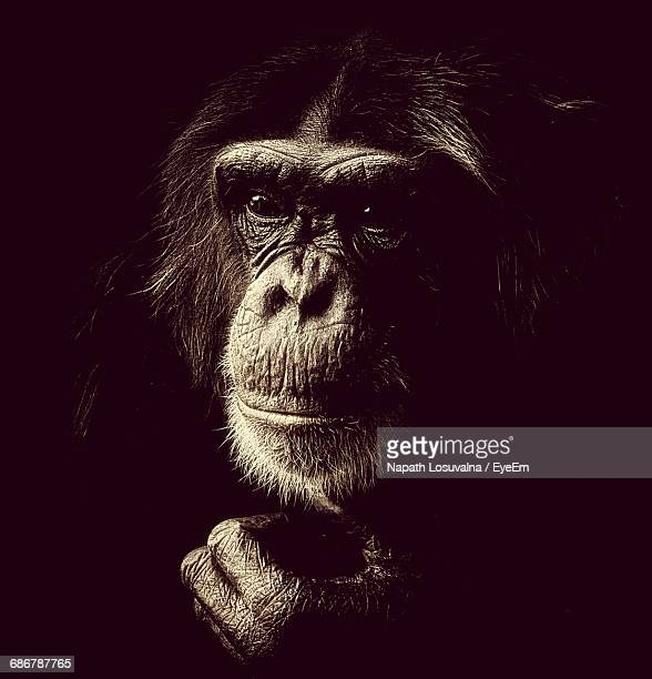 Close-Up Of Chimpanzee Against Black Background