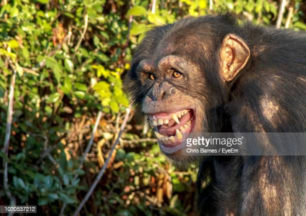 close-up of chimpanzee against plants - chimpanzee teeth stock pictures, royalty-free photos & images