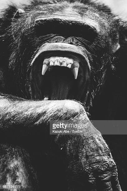 close-up of chimpanzee - chimpanzee teeth stock pictures, royalty-free photos & images