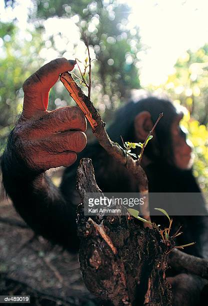 close-up of chimpanzee's (pan troglodytes) hand - animal finger stock photos and pictures