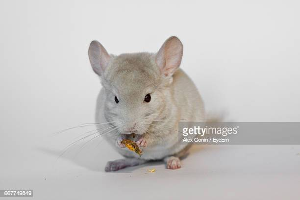 Close-Up Of Chinchilla Against White Background