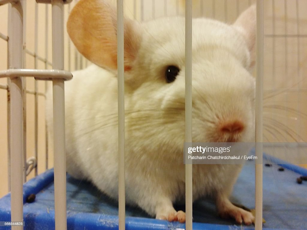 Close-Up Of Chinchilla In Cage Indoors : Stock-Foto
