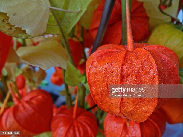 Close-up of Chinese lantern growing on plant