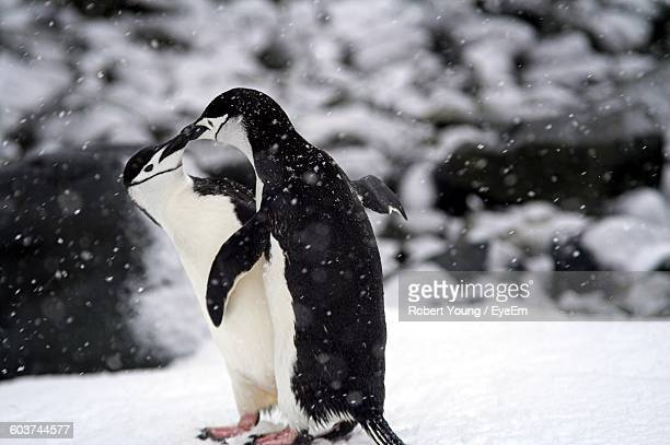 Close-Up Of Chinstrap Penguins During Winter