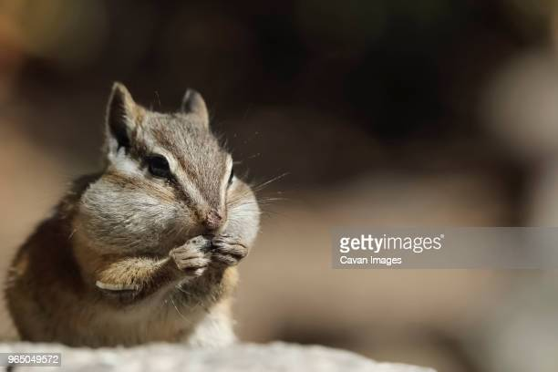 close-up of chipmunk eating food - cheek stock pictures, royalty-free photos & images