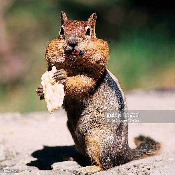 Close-Up Of Chipmunk Holding Food On Field