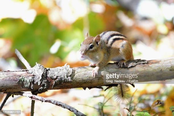 close-up of chipmunk on tree - greg nadeau stock pictures, royalty-free photos & images