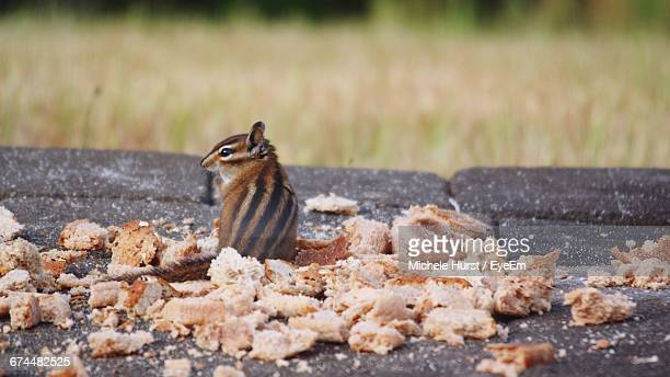 Close-Up Of Chipmunk Sitting Next To Breadcrumbs
