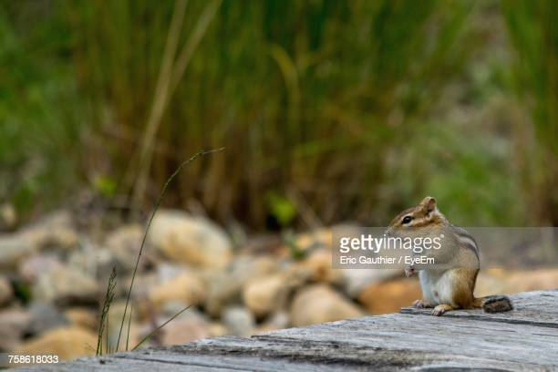 Close-Up Of Chipmunk Sitting Outdoors