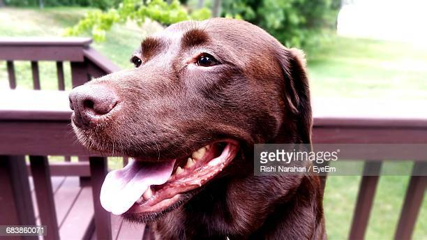 close-up of chocolate labrador sticking out tongue in yard - chocolate labrador stock pictures, royalty-free photos & images