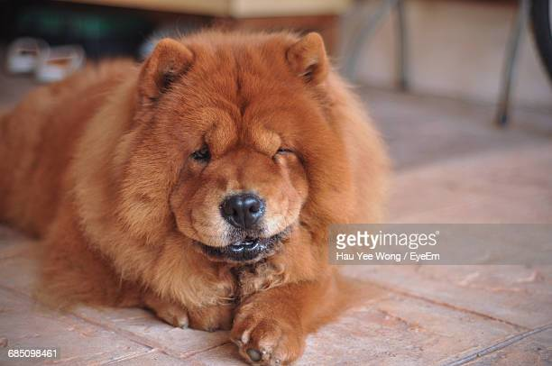 close-up of chow resting at home - chow dog stock pictures, royalty-free photos & images