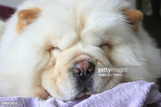 close-up of chow sleeping - chow stock pictures, royalty-free photos & images