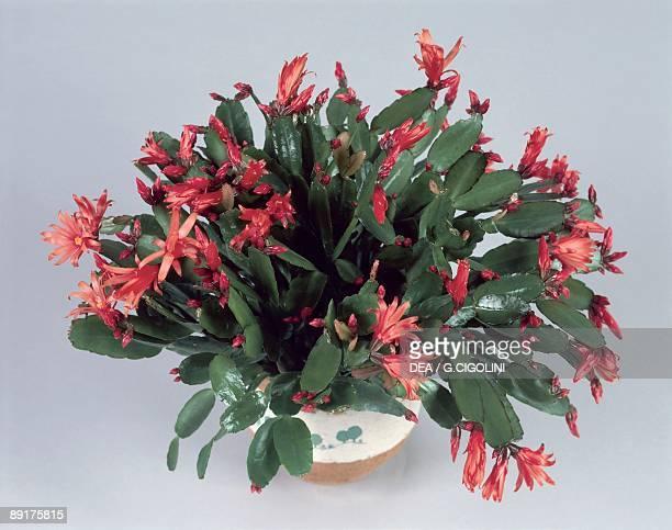 Closeup of Christmas cactus growing in a pot