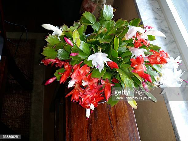 close-up of christmas cactus - christmas cactus stock photos and pictures