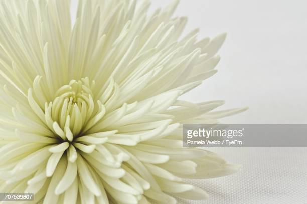 Close-Up Of Chrysanthemum Over White Background