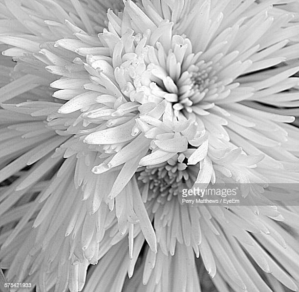 Close-Up Of Chrysanthemums Blooming Outdoors