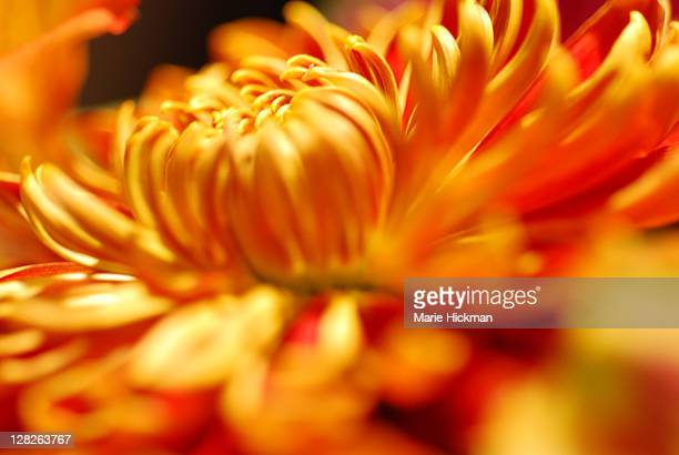 Red flower with yellow center stock photos and pictures getty images red flower with yellow center pictures and images rf common sunflower rm close up of chrysthanthemum mightylinksfo