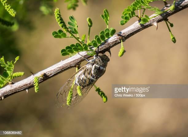 close-up of cicada on branch - cicala foto e immagini stock
