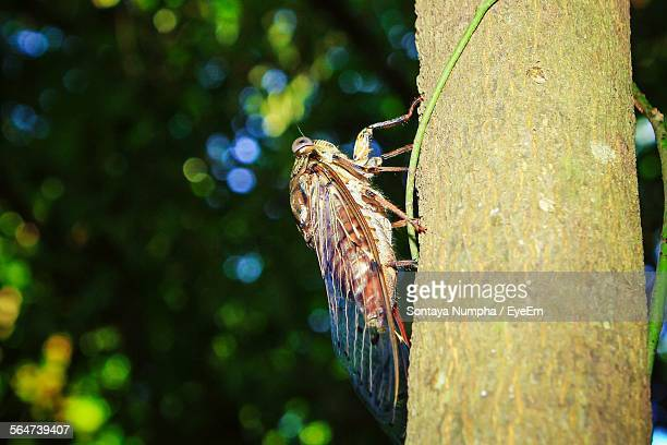Close-Up Of Cicada On Tree Trunk