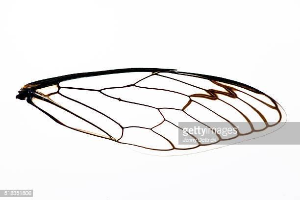 Close-up of cicada wing