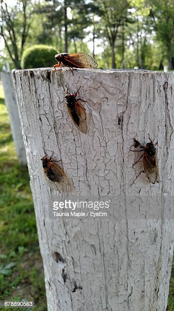 close-up of cicadas on white tree stump - cicada stock pictures, royalty-free photos & images