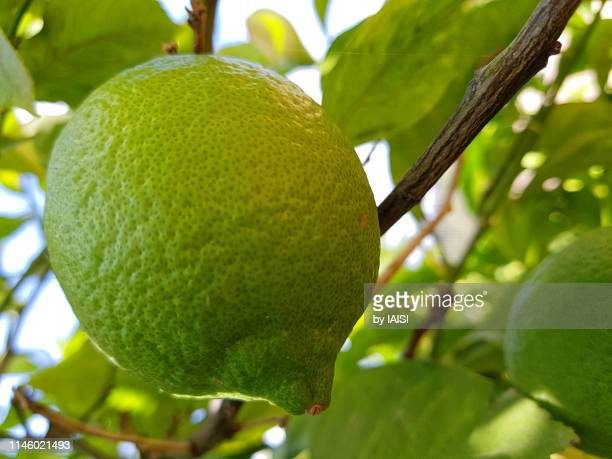 close-up of citron, green, in the process of ripening - unripe stock pictures, royalty-free photos & images