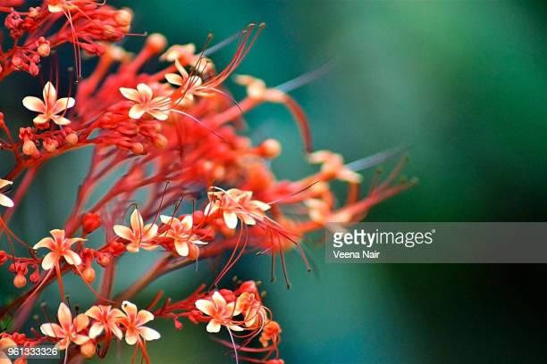 Close-up of Clerodendrum paniculatum/Hanuman Kireetam