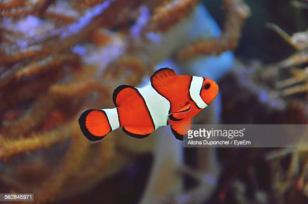 Close-Up Of Clown Fish In Aquarium