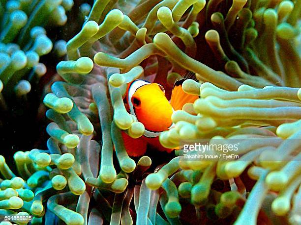 close-up of clown fish swimming amidst coral in sea - inoue stock photos and pictures