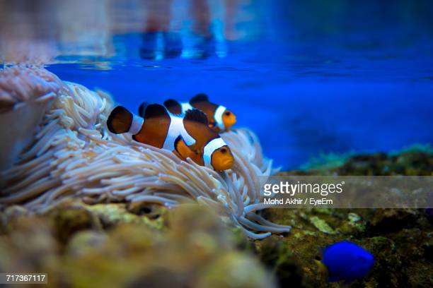 close-up of clownfish swimming in water - damselfish stock photos and pictures